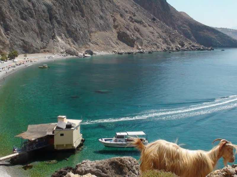 Goat in Sfakia hiking tour in Crete