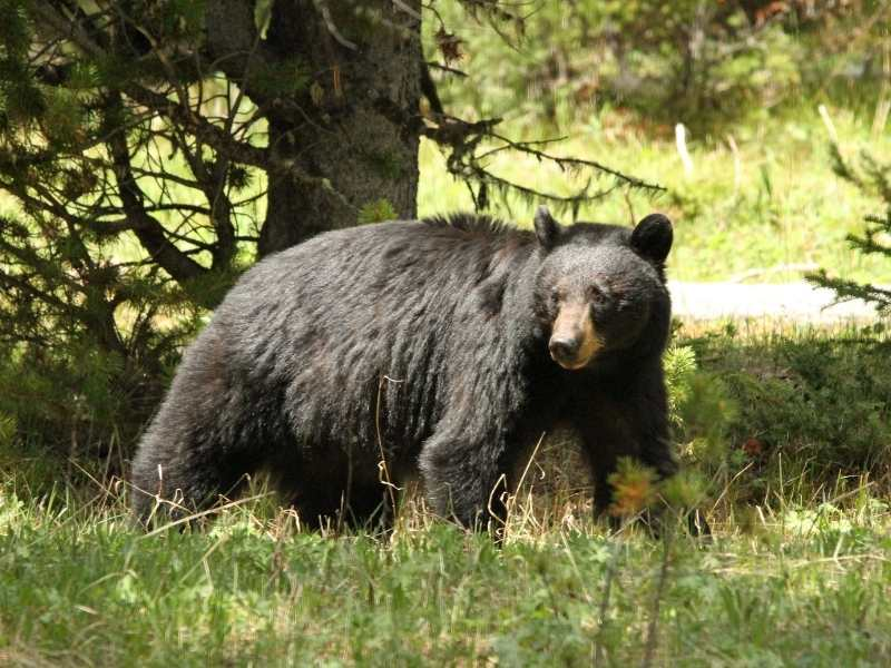 Bears are a common sight in Yellowstone so make sure to have bear spray with you when you hike