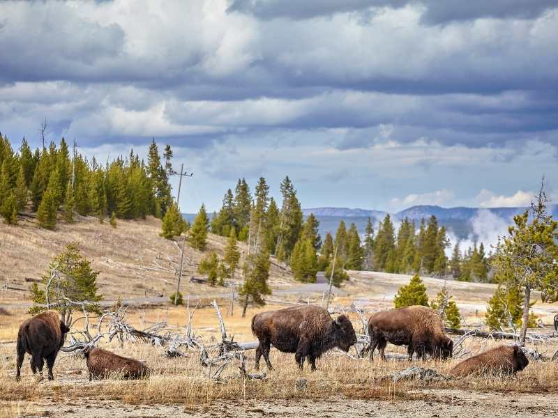 Grazing Bison in Yellowstone National Park