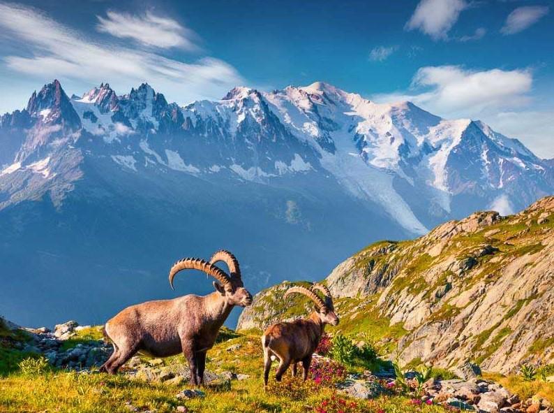 ibex seen on the tour du mont blanc hiking tour